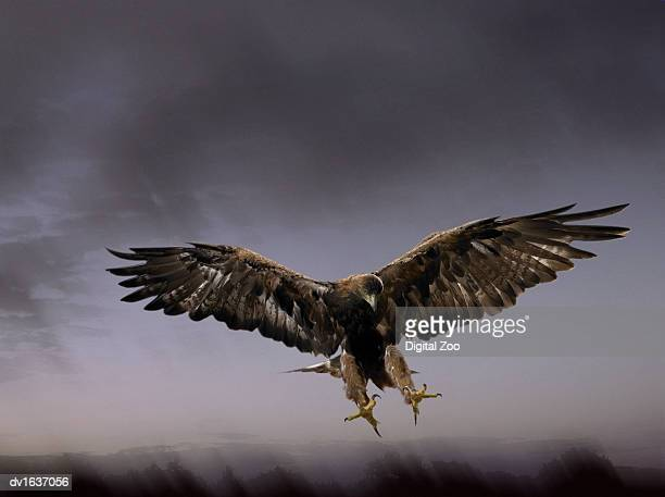 golden eagle coming into land with talons extended, against a dramatic grey sky - aguila real fotografías e imágenes de stock