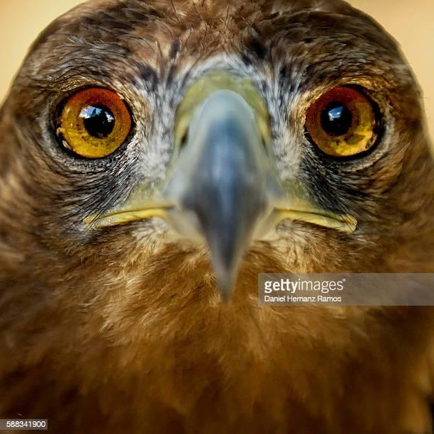 Golden Eagle face close up. Aquila chrysaetos