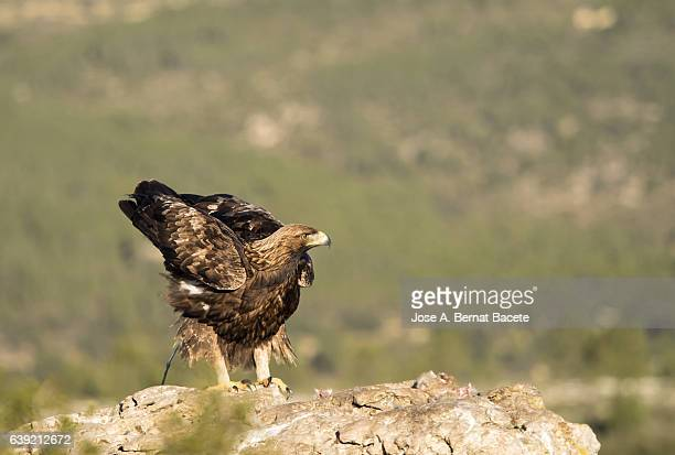 Golden Eagle (Aquila chrysaetos), famale, on the rock of the top of a mountain, at the time of defecation  , Spain.
