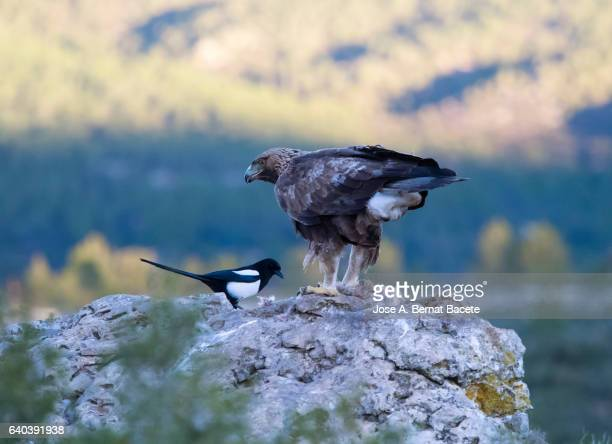 golden eagle (aquila chrysaetos), famale, on the rock of the top of a mountain, eating a rabbit that has hunted , spain. - aguila real fotografías e imágenes de stock