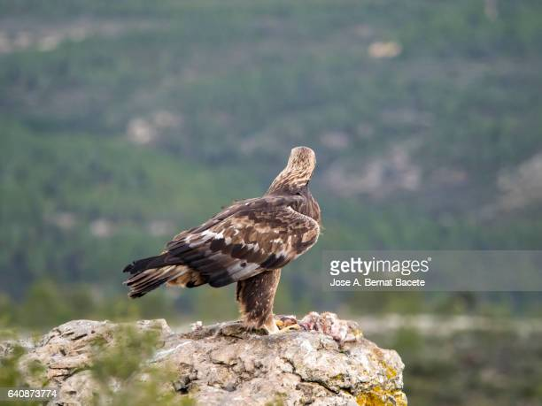 Golden Eagle (Aquila chrysaetos), famale, on the rock of the top of a mountain, eating a rabbit that has hunted , Spain.