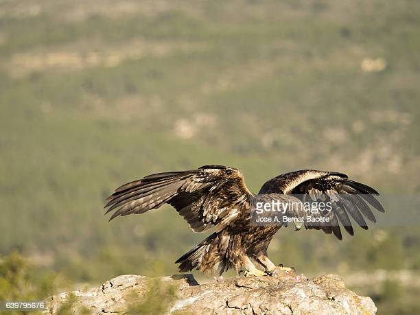 golden eagle (aquila chrysaetos), famale, on the rock of the top of a mountain with the corpse of a rabbit that he has hunted, spain. - aguila real fotografías e imágenes de stock