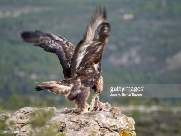 Golden Eagle (Aquila chrysaetos), famale, on the rock of the top of a mountain with the corpse of a rabbit that he has hunted, Spain.