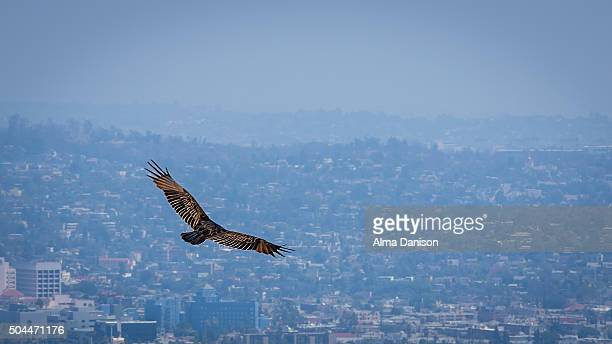 golden eagle flies over hazy los angeles - alma danison imagens e fotografias de stock