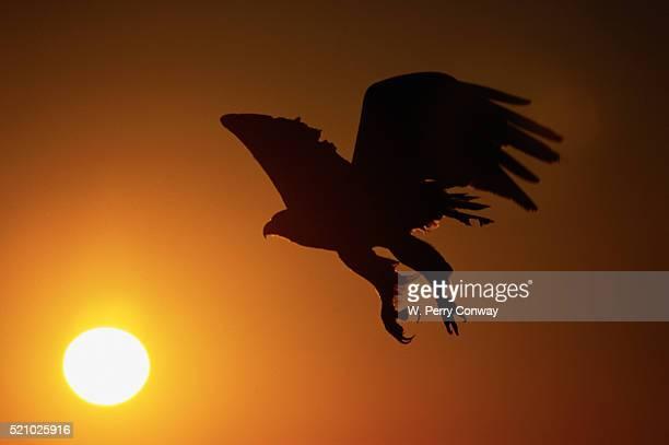 Golden Eagle Flying at Sunrise