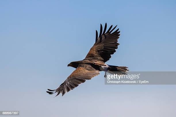 Golden Eagle Flying In Mid-Air Against Clear Sky