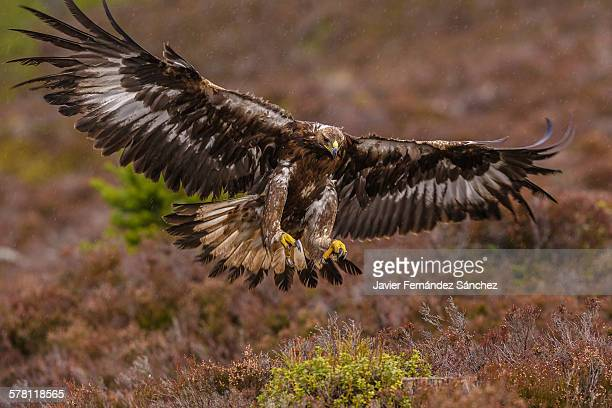 golden eagle flying in the rain - aquila reale foto e immagini stock
