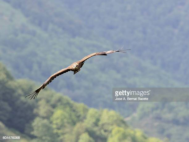 golden eagle (aquila chrysaetos) flying over a forest , pyrenees, france. - aguila real fotografías e imágenes de stock