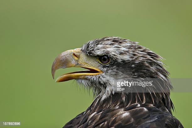 Golden Eagle Golden Eagle Picture Taken In The Southern AlpsAquila Chrysaetos Golden Eagle Eagle Accipitrid Diurnal Raptor Raptor Bird