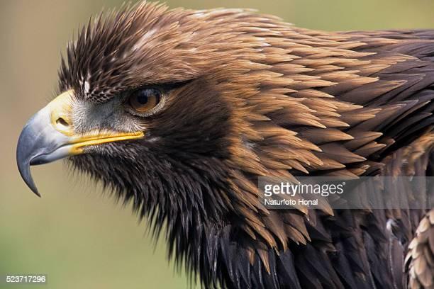 Golden Eagle Head in Profile