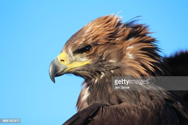 golden eagle hunters of mongolia - aigle royal photos et images de collection