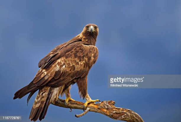 golden eagle in central spain - aguila real fotografías e imágenes de stock