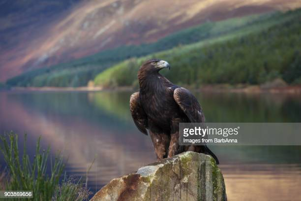 golden eagle in the cairngorms national park, scotland, uk - aguila real fotografías e imágenes de stock