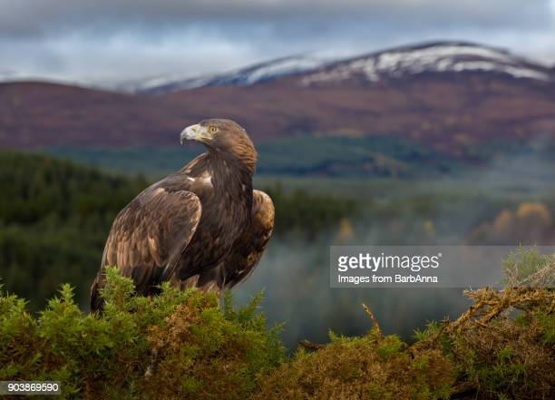 golden eagle in the cairngorms national park, scotland, uk with distant view of snowcapped mountain - aquila reale foto e immagini stock