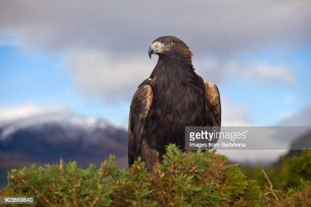 golden eagle in the cairngorms national park, scotland, uk with distant view of snowcapped mountain - aguila real fotografías e imágenes de stock
