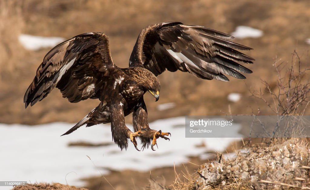 Golden eagle in winter : Stock Photo