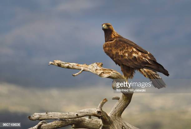 Golden eagle iperched on a dead tree