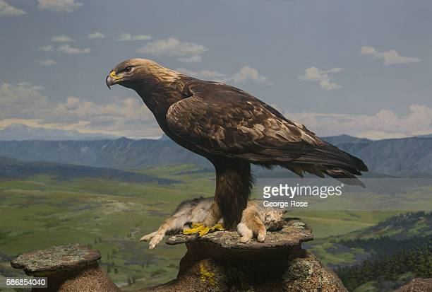 A golden eagle is featured in a wildlife diorama at the Museum of Nature Science on July 29 in Denver Colorado Denver the State Capitol and the...
