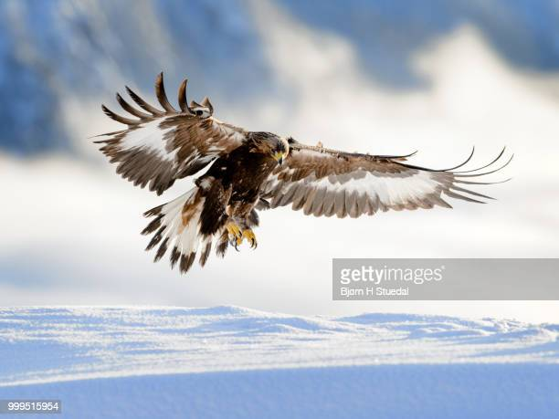 golden eagle landing in snow, telemark norway - aquila reale foto e immagini stock