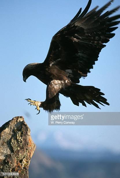 Golden Eagle Lands on Rock
