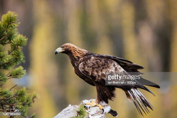 golden eagle on rock - aquila reale foto e immagini stock