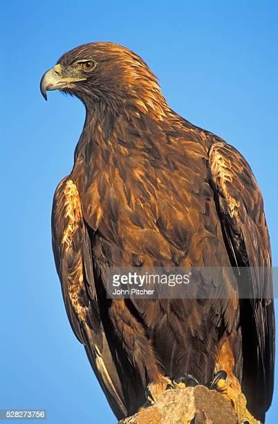 Golden Eagle on Rock