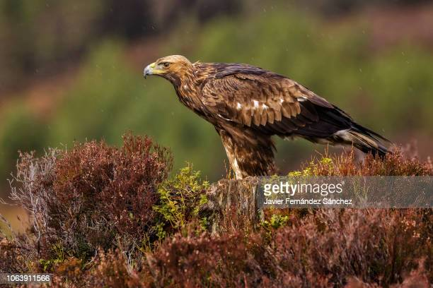 a golden eagle perched among the heather observes its hunting territory. aquila chrysaetos. - aquila reale foto e immagini stock