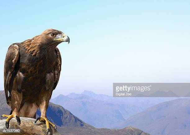 golden eagle perched on a rock, against a mountain range - aguila real fotografías e imágenes de stock