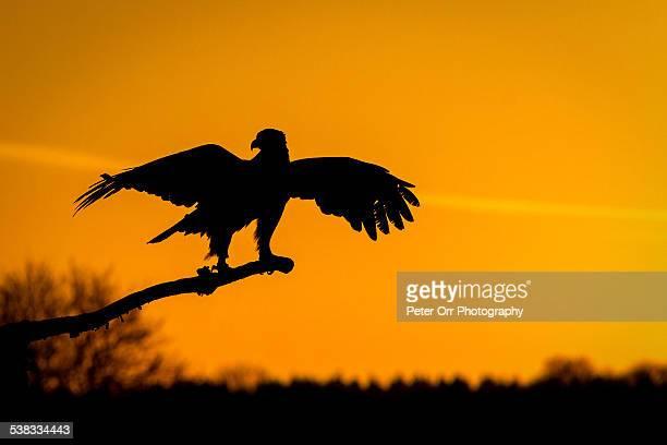 Golden Eagle Perching