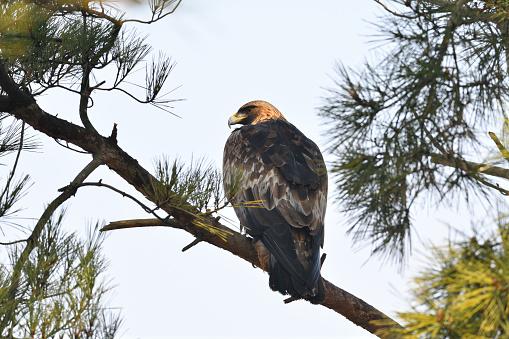 A Golden Eagle - gettyimageskorea