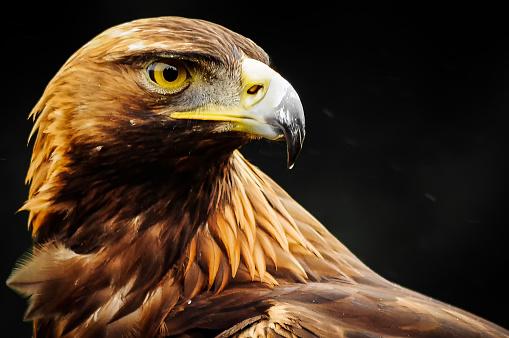 Golden Eagle 1148651133