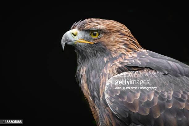 golden eagle - aigle royal photos et images de collection