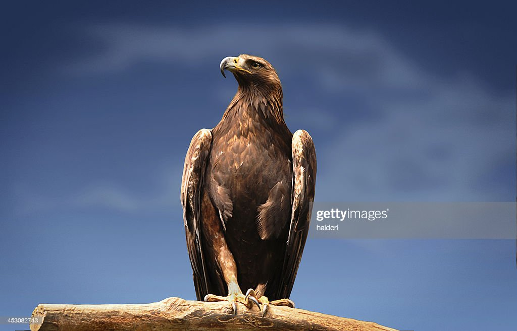 Golden Eagle : Stock Photo