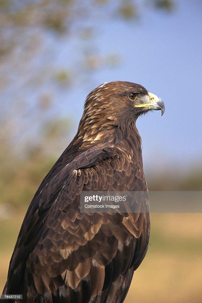 Golden eagle : Stockfoto