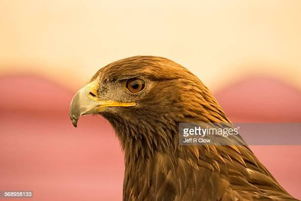 golden eagle portrait - aigle royal photos et images de collection