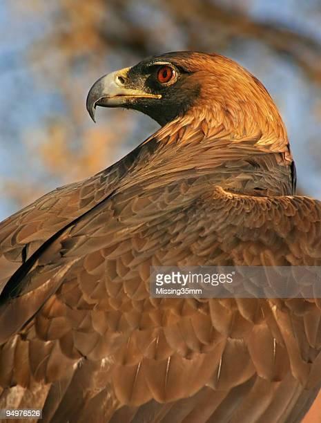 Águila real perfil