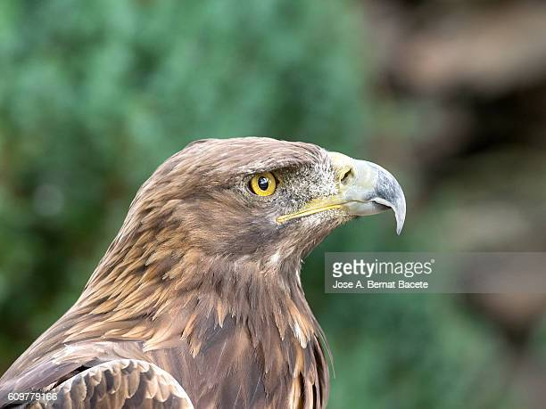 Golden Eagle,  (Aquila chrysaetos) , Pyrenees, France.