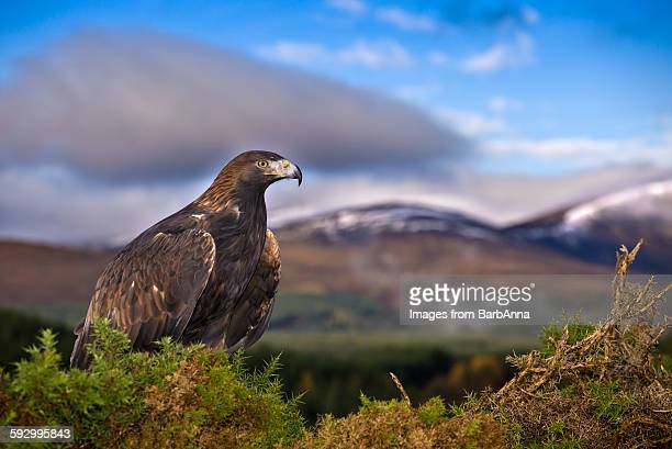 golden eagle, scotland, uk - aquila reale foto e immagini stock