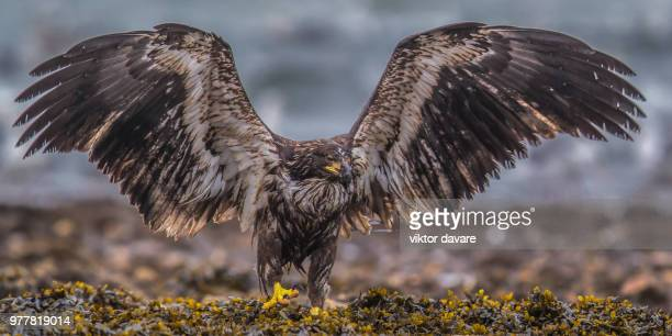 golden eagle (aquila chrysaetos) spreading wings, vancouver island, british columbia, canada - aquila reale foto e immagini stock