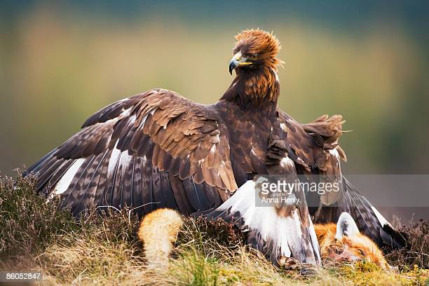 Golden Eagle standing over prey
