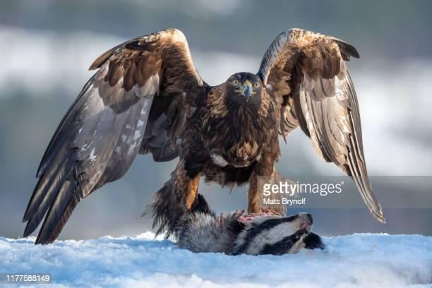 golden eagle with badger kill - aigle royal photos et images de collection
