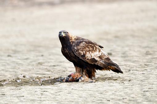 A Golden Eagle with Fiery Eyes - gettyimageskorea