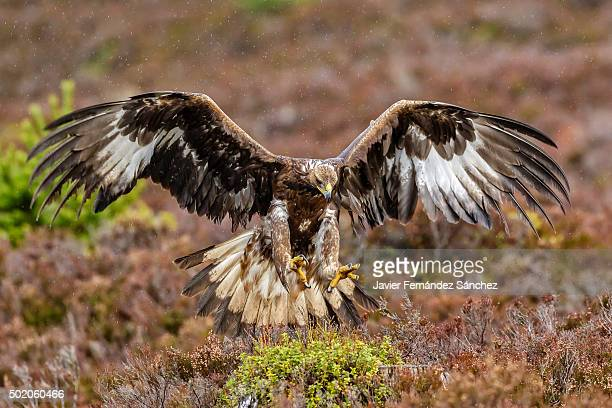 a golden eagle with open wings perched among the heather. aquila chrysaetos. - aquila reale foto e immagini stock