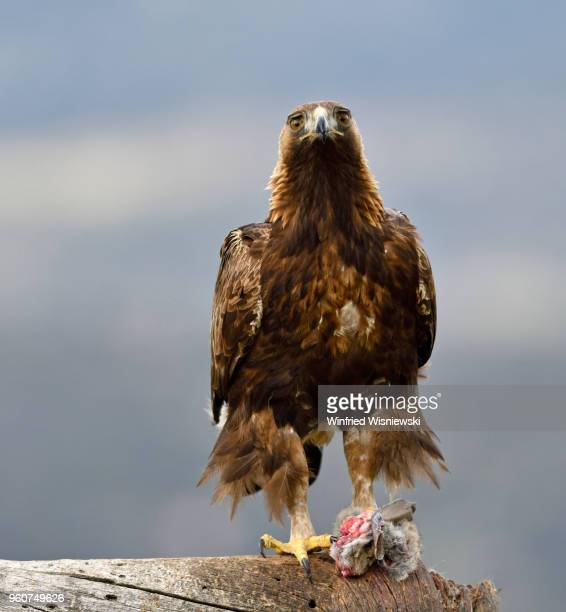 Golden eagle with rabbit perched on a dead tree