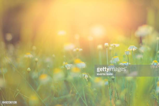 golden evening summer flowers on the summer meadow, inspirational natural landscape background concept. - flower background stock pictures, royalty-free photos & images