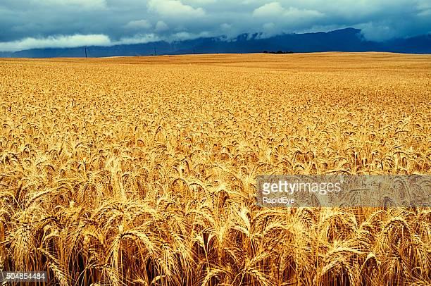 Golden field of ripe wheat. Beautiful nature background.