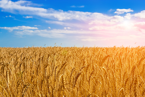 Golden field of wheat. 936222716