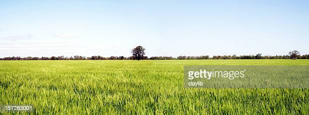 golden fields of wheat panorama