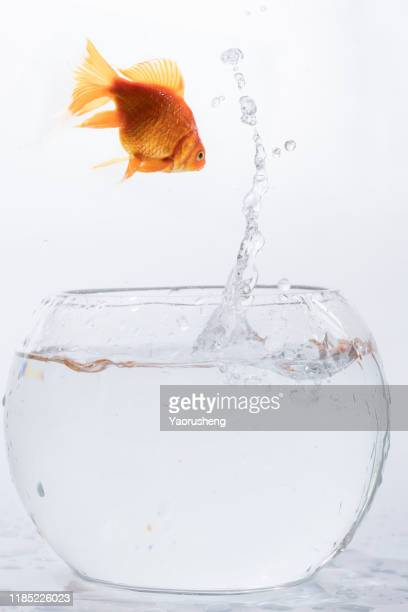 golden fish jumping high out the round fishbowl with clear water light checkered background - goldfish leap stock pictures, royalty-free photos & images