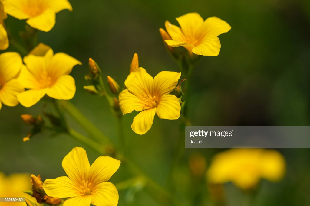 Golden flax flower stock photo getty images golden flax flower stock photo mightylinksfo